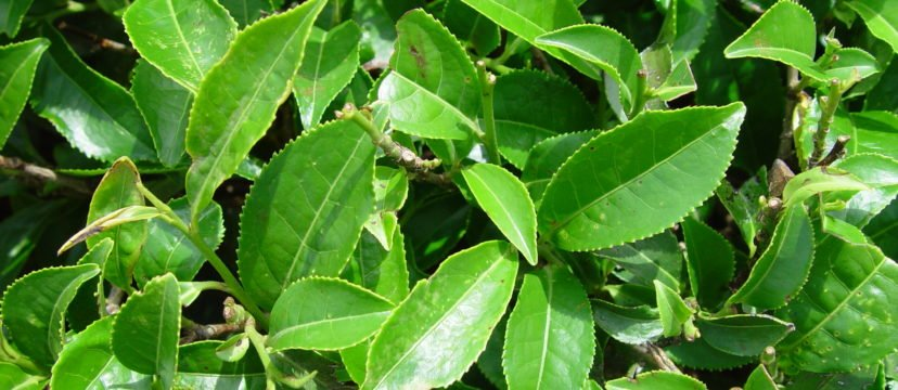 Leaves of Camellia Sinensis (Public Domain)