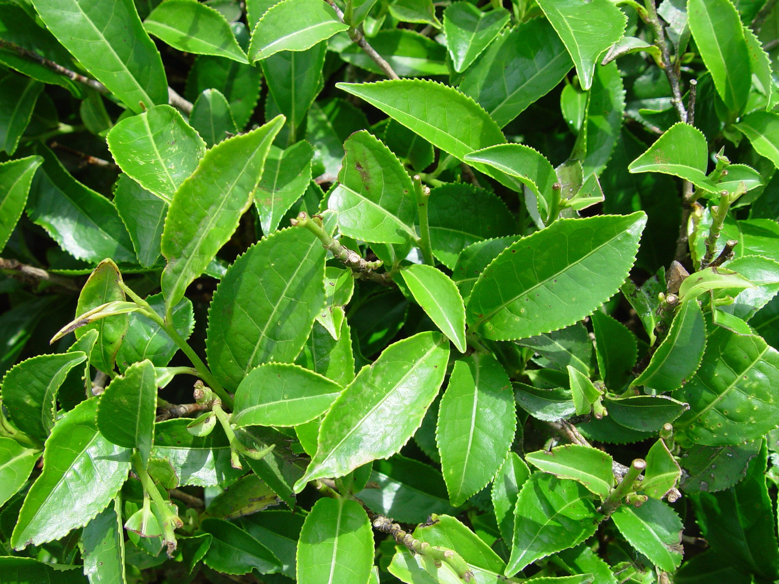 Leaves of Camellia Sinensis (Public Domain)